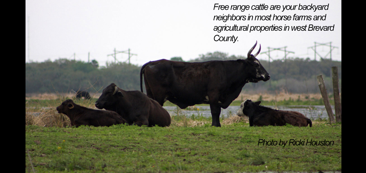 brevard county free range cattle
