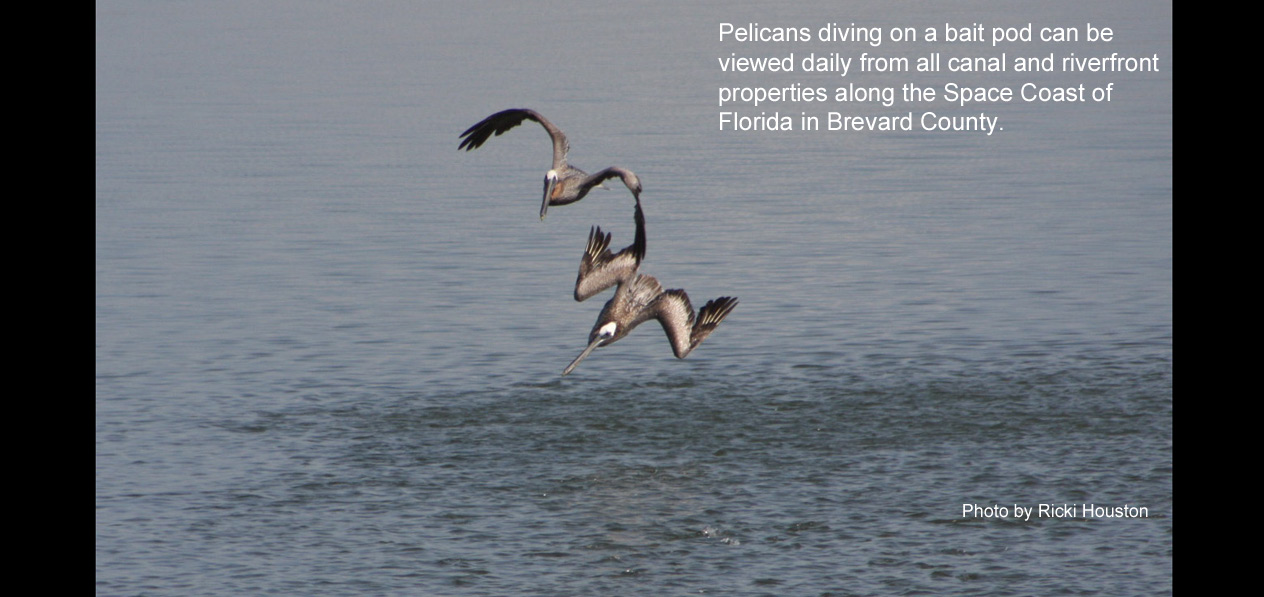 pelicans diving on bait pod